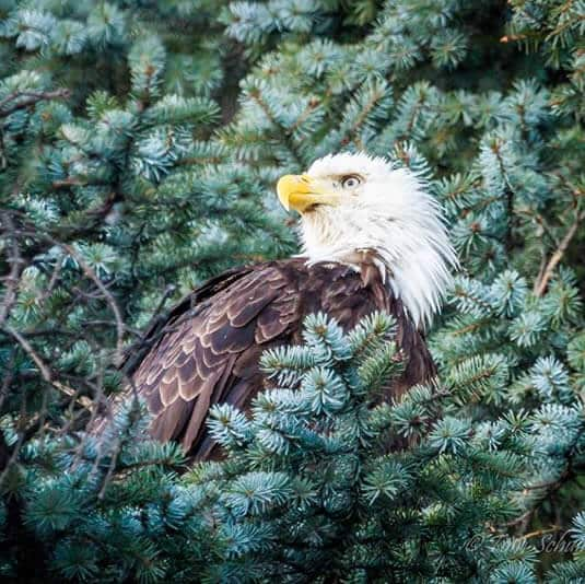 Bald Eagle sitting on a branch of an evergreen tree