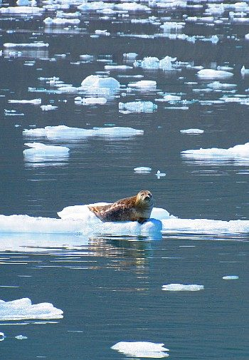 Large brown seal sitting atop of floating piece of ice in a body of water with pieces of ice all around