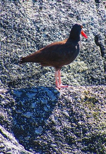 Small brown bird with red beak standing on a grey rocky area